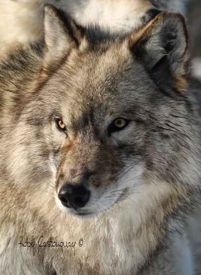 Stop Killing Wolves! — Gray Wolf byRoby Castonguay