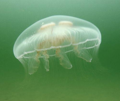 Moon Jellyfish, Underwater Baltic Sea, Zingst by yayapapaya77