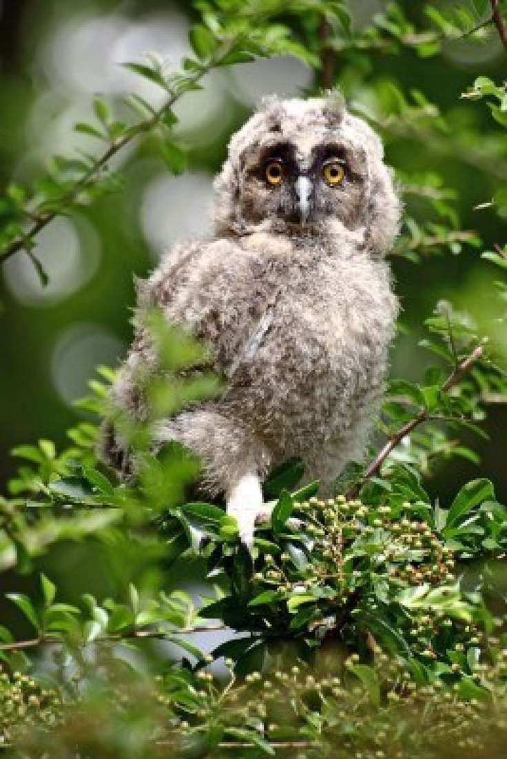 Incoming spring, baby owl on the branch #baggspiraton