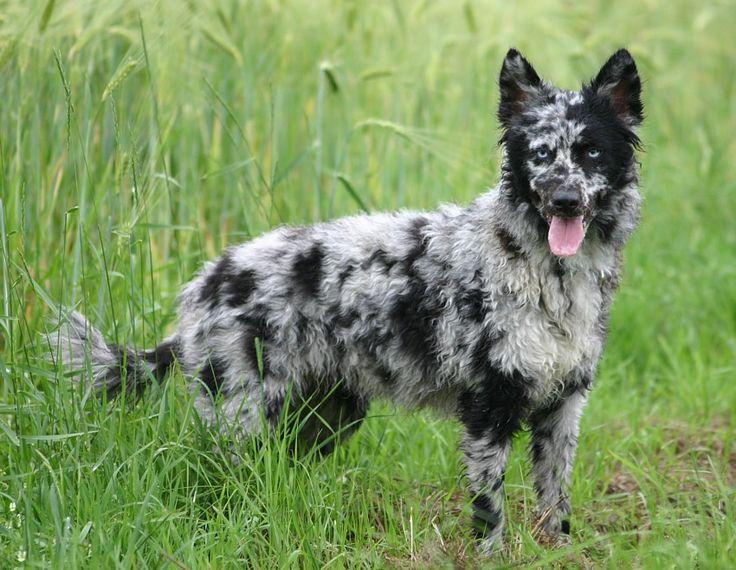 Blue Merle Mudi | Rare Dog Breeds | Pinterest | Guard dog ...