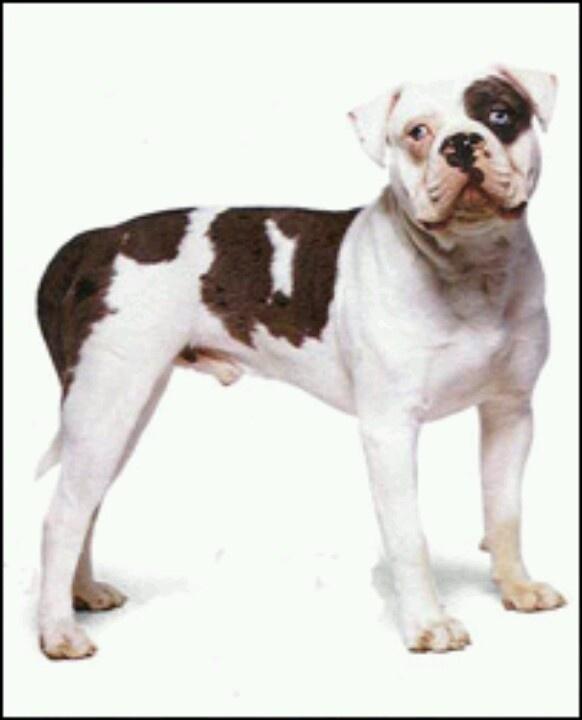 Alfalfa Blue Bull Dog Blue Blood Bulldog Yorkshire Terrier