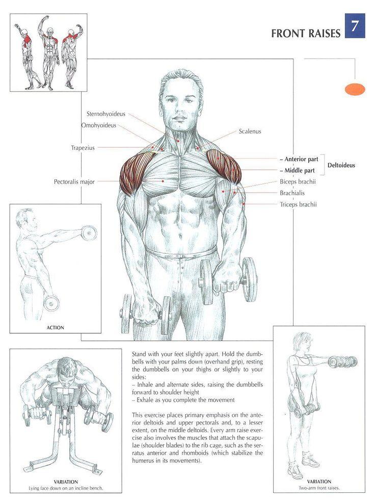 96 best bodybuilding anatomy images on pinterest