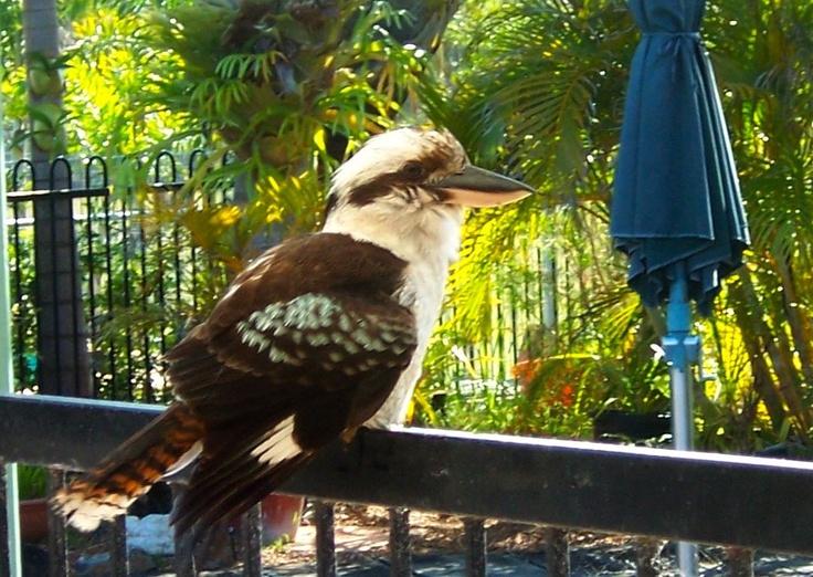 Kookaburra sitting on pool fence...Bribie Island Qld.
