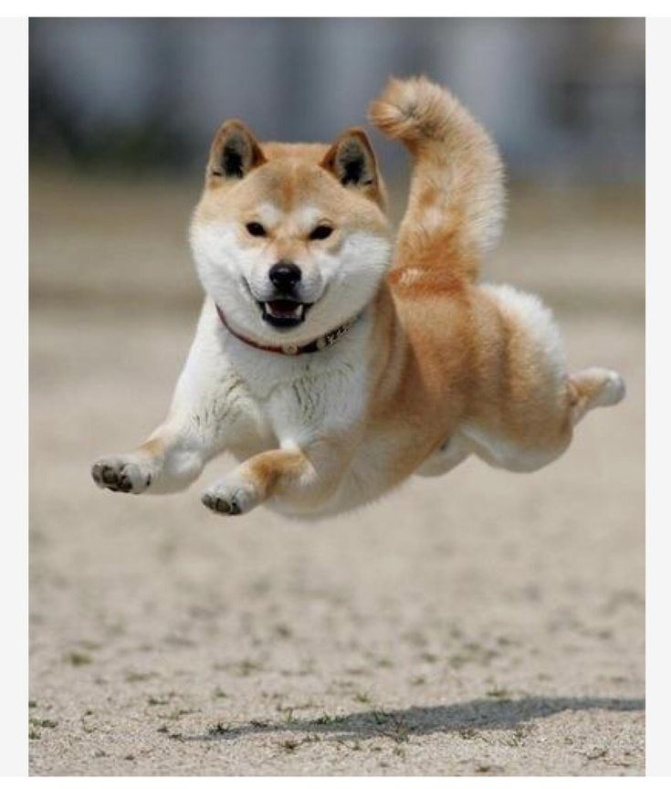 Best Fun Folder Images On Pinterest - Three shiba inus stick their heads through wall to greet passers by
