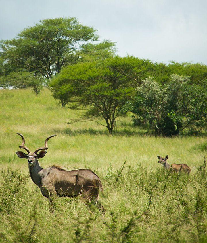 Africa-ethiopia-Mountain_Nyala-wiki1.jpg (720×848)