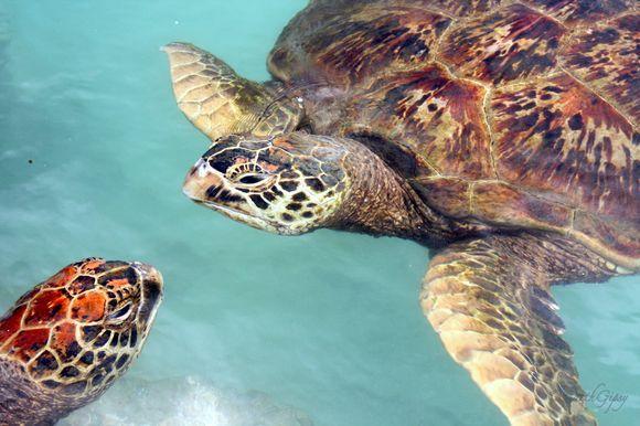 Turtles, Vanuatu