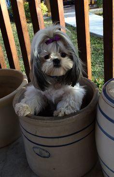 Shih-Tzu puppy plays hide & seek