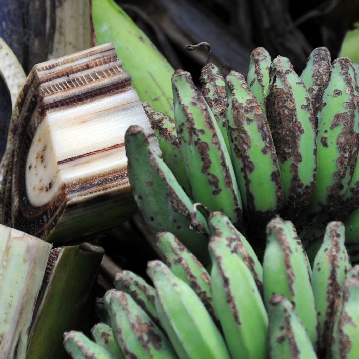 Banana farmers in Tully in far north Queensland go to extreme measures to try to contain the spread of a severe strain of Panama disease.