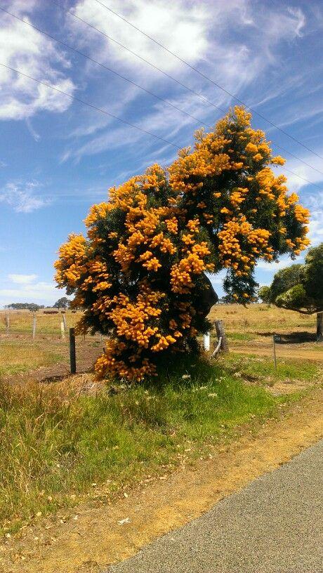 Western Australin Christmas Tree in full flower near Albany, WA