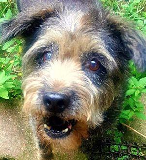 Providence, RI - Standard Schnauzer Mix. Meet Hannah ADBR in TX, a dog for adoption. http://www.adoptapet.com/pet/19224454-providence-rhode-island-standard-schnauzer-mix