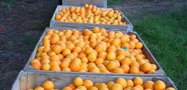 Citrus farming is the main form of agriculture in the region