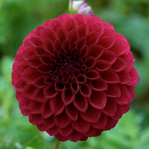 370 best dahlia images on pinterest | flowers, dahlia flowers and