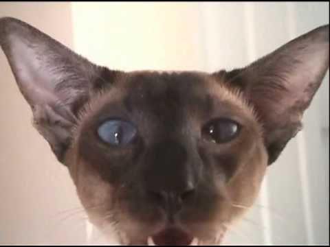 """Siamese cat has a chuckle"" OH MY GOODNESS. @Kaushik Bonam @Kyle Bragger Klein @Erica Cerulo Collins Amos"