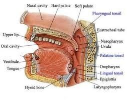 Palatine tonsils; 4 lymphoid compartments, reticular crypt epithelium, the extrafollicular area, the mantle zones of lymphoid follicles, and the follicular germinal centers. Palatine B cells can mature to produce all the five major Immunoglobulin (Ig, aka antibody) classes + specific antigens or mitogens. Local immune responses to microorganisms.