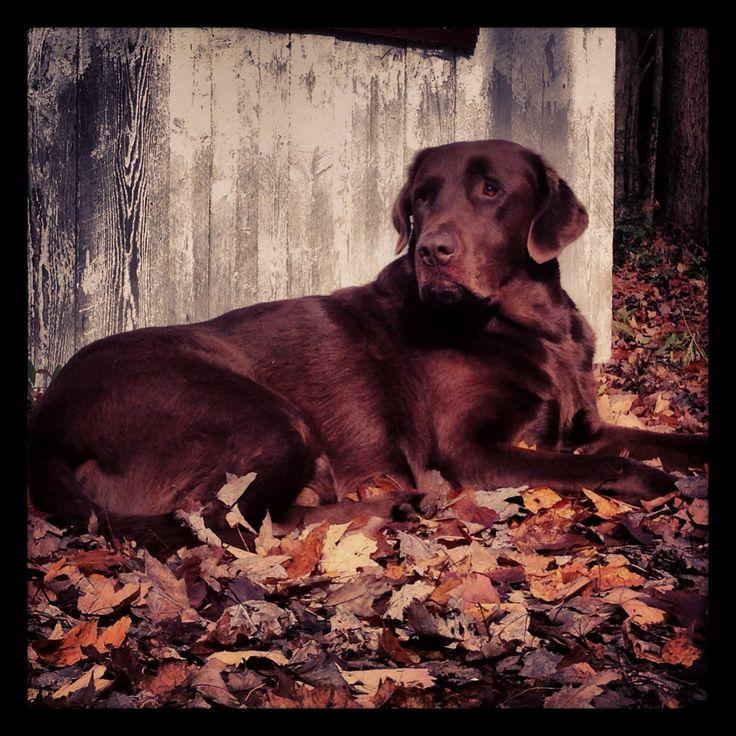 Labrador brun