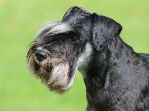 Autrefois utilisé comme ratier dans les écuries, ce chien s'est rapidement forgé une belle réputatio... - Shutterstock