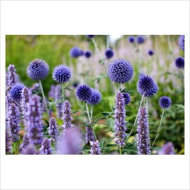 Agastache 'Blue Fortune', Echinops ritro 'Veitch's Blue' and Veronicastrum 'Lavendelturm' - RHS Wisley      Photographer: Pernilla Bergdahl