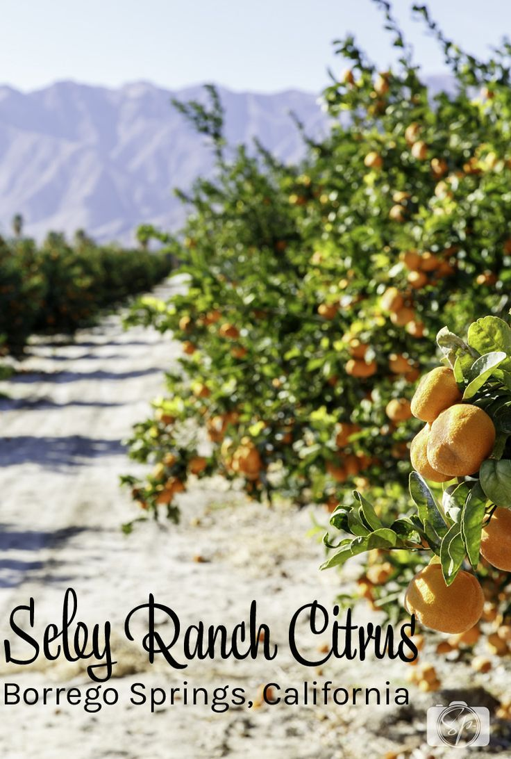 Seley Ranch is Borrego Springs, California (in the Anza Borrego Desert State Park region) is an amazing citrus farm growing grapefruits, lemons and tangerines. You can buy directly from their farm stand. I got a chance to interview the farmer behind the fruit and the Seley family is quite innovative!