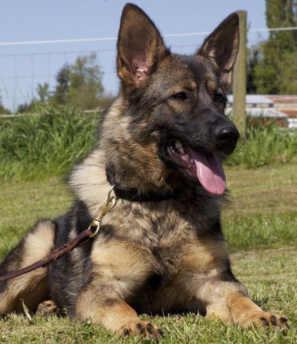 Red Sable German Shepherd Dog | Current dog, Greta, a German Shepherd (red sable). | Hen House