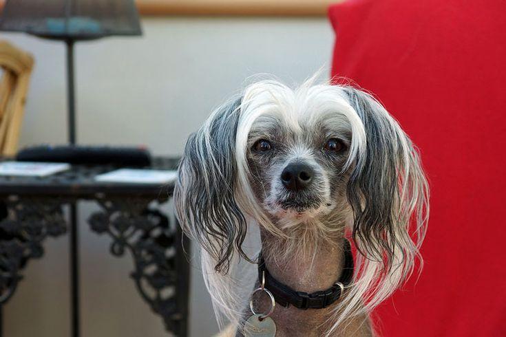 Es el perro preferido por los alérgicos ¿imaginas por qué? Una pista: se le atribuyeron poderes curativos y se hizo famoso en EEUU gracias a una striper ¿eres capaz de identificarlo ahora?   / Mediterranean Natural / razas de perros / Perro crestado chino / dogs / Imagen: hehaden (Flickr)