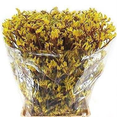 Anigozanthos Yellow (also known as Kangeroo Paw) is a flower native to Australia. Something a little different to use when in season too! 60cm tall & wholesaled in 20 stem wraps.
