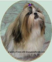 I am a georgia shih tzu breeder supplying healthy happy puppies in a home enviroment,akc shih tzu breeder in ga,shih tzu puppies for sale, shihtzu puppies for sale,shih tzu breeders usa,shihtzu breeders,shih tzu breeding,shih tzu breed information,shihtzu breeders in ga,shih tzu breeders in tennessee,shih tzu breeders in ga,shih tzu breeders in sc,shih tzu breeders in fl,shih tzu breeders in alabama,shih tzu breeders in texas,shih tzu florida,shih tzu for sale in south
