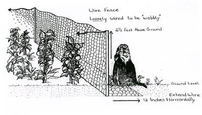 Woodchuck Fence Sketch Courtesy Of The Hsus Keep The Groundhogs Out Of Your Garden Groundhog