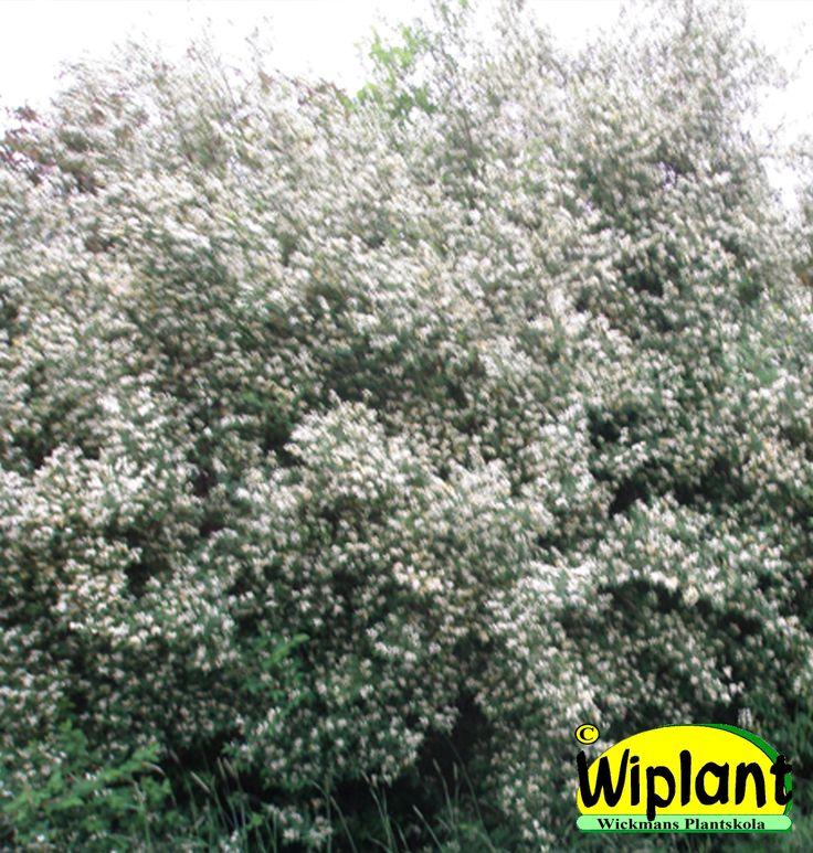 Lonicera x bella 'Dropmore', Spärrtry. Snygga blad och årsskott. Blommar vitt. Höjd: 2 m.