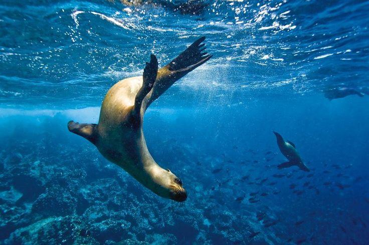 Sea Lion Galapagos (otarie)
