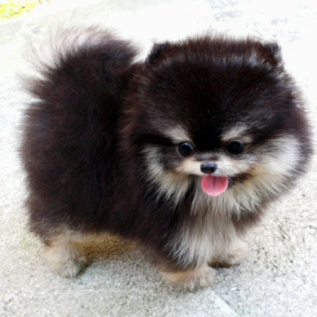 how to take care of a pomeranian puppy best 25 pomeranian puppy ideas on pinterest 9201