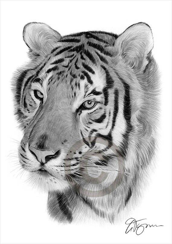 Bleistift Zeichnung Grafik Druck eine Bengal Tiger UK Künstler Gary Tymon. Original Kunstwerk wurde mit schwarzen Aquarell Bleistift auf Aquarellpapier und diese Drucke sind eine limitierte Auflage von nur 50. Druck ist ist 11,75 x 8,25 Zoll (A4) und einzeln signiert und nummeriert