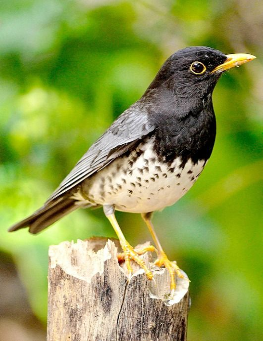 Japanese Thrush (Turdus cardis). A temperate climate forest bird of Asia and Russia. photo: boti.