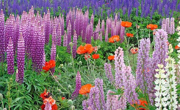 """Beautiful lupines and poppies grow in the Bishop's Garden in Ushuaia, Argentina. Ushuaia is the southernmost city in the world and this picture was taken in January."" (Courtesy jfenson/myBudgetTravel) From: 38 Gorgeous Gardens in Bloom."