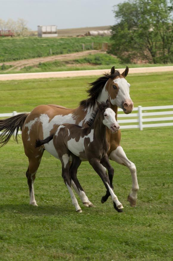 Paint horse mare and foal galloping together.  My next horse will be a paint (or a buckskin) just like our JoJo!