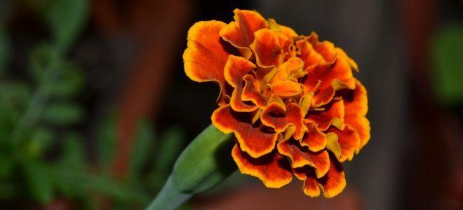 Бархатцы – лечебные свойства и противопоказания. Эти цветы считаются одними из наиболее неприхотливых. Наверняка вы видели их на школьных клумбах и нередко замечали в цветочных горшках на балконах. В…