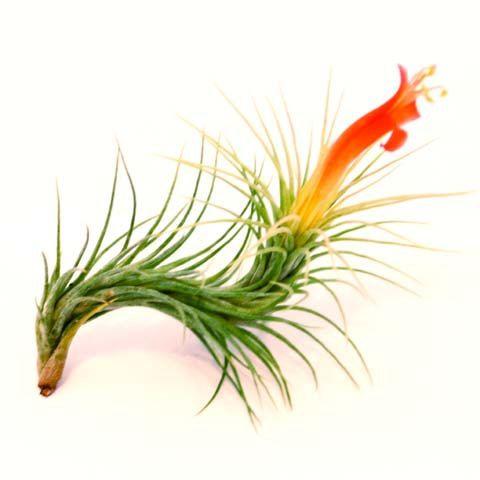 Five Funky Tillandsia Funckiana Air Plants - Spectacular Blooms. $14.95, via Etsy.