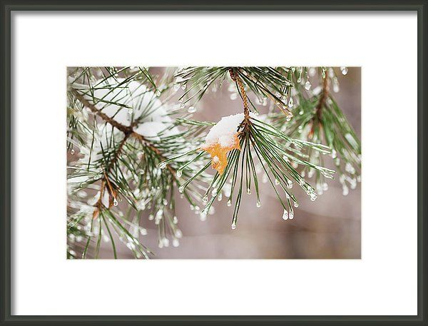 Winter begins ... by Svetlana Iso.   Autumn yellow maple leaf stuck on a pine-tree branch under first freezing rain  #SvetlanaIso #SvetlanaIsoFineArtPhotography #Photography #ArtForHome #InteriorDesign #FineArtPrints #Home #Gift #Color  #artwork  #artforsale #FineArtPrint #FineArtArtist #PrintsForSale #ArtForHome #instahome