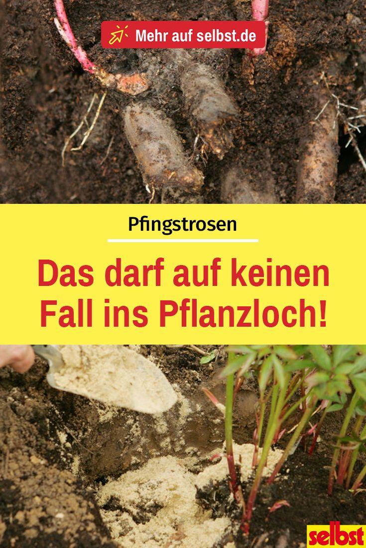 Pfingstrosen Pflegen Pfingstrosen Pfingstrosen Pflanzen Und