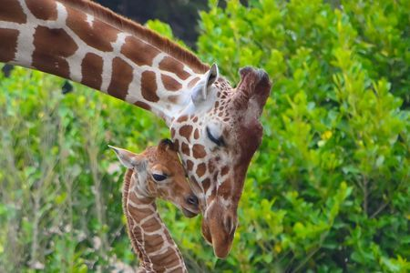 16-day old giraffe Photo by Angela N. -- National Geographic Your Shot
