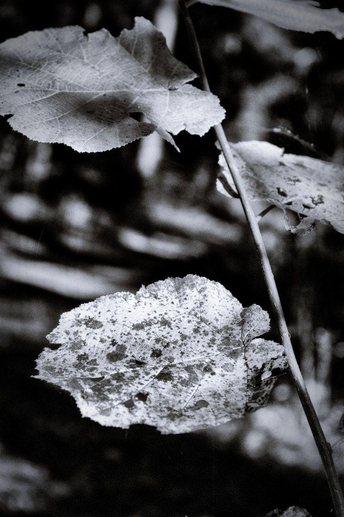 bwstock.photography  //  #hazel #twig