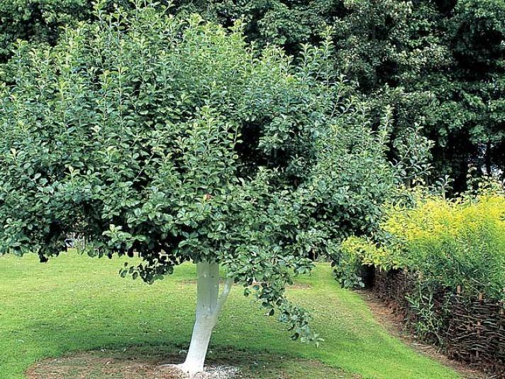 Les 44 meilleures images du tableau au verger sur pinterest arbres fruitiers arbustes et cerisier - Quand tailler les arbres et arbustes ...