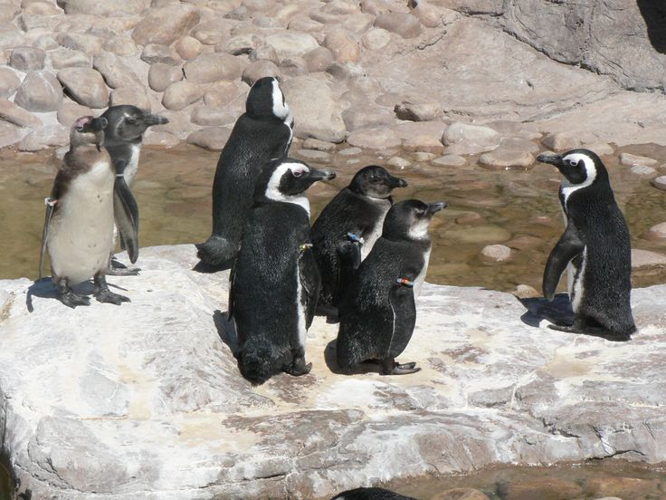 Penguins at SAMREC