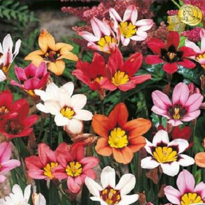 Sparaxis. Planteaza 1 bulb in martie - aprilie si vei avea flori in aprilie - septembrie.