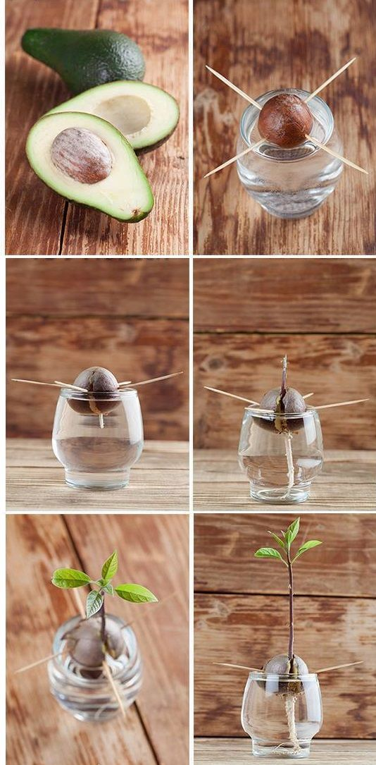 A step-by-step instructional guide with photos, which shows you how to grow an avocado tree - DIY Fairy Gardens