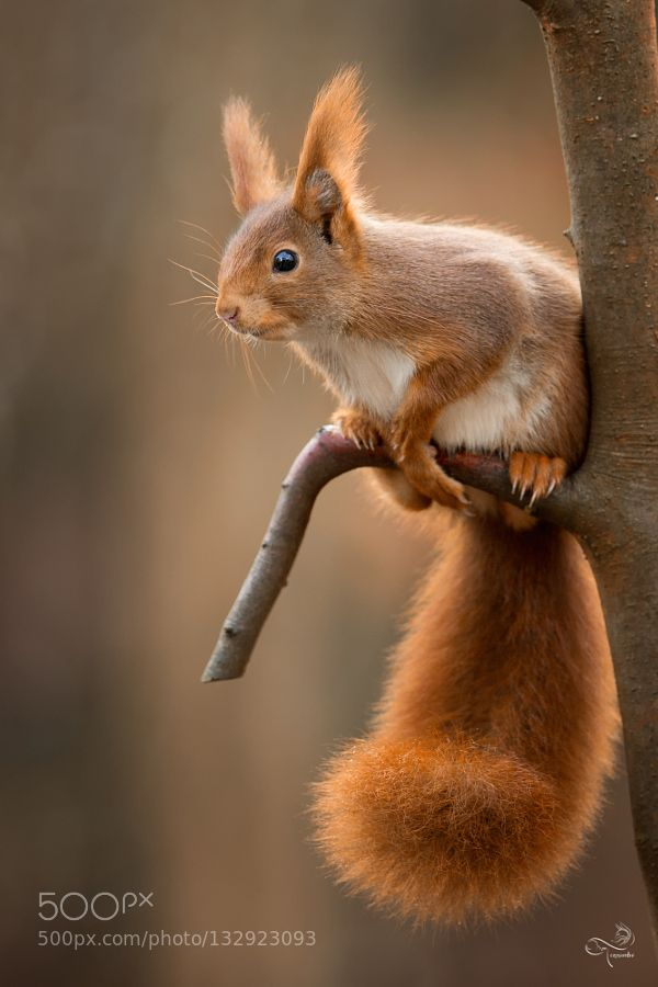A Handsome Squirrel.