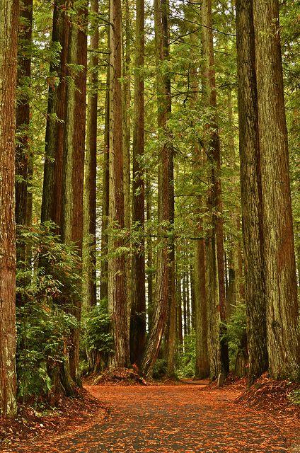 Redwood Forest Walk