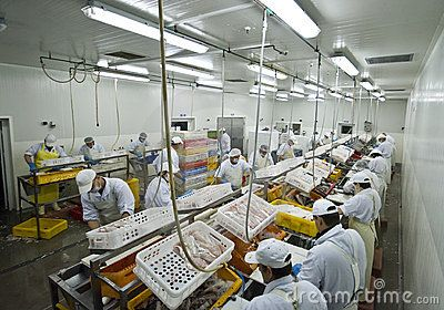 A fish processing factory, aerial view of the hall with people working - cutting fish, preparing fillets. Fish processing factory series.