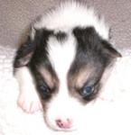 Pooh the corgi puppy 3 weeks....this is HALPERT!!!: Weeks This, Corgis, Pooh, Corgi Puppies, Puppys, Preparing