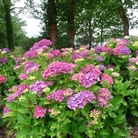 17 meilleures id es propos de hortensia macrophylla sur pinterest bouture hortensia. Black Bedroom Furniture Sets. Home Design Ideas