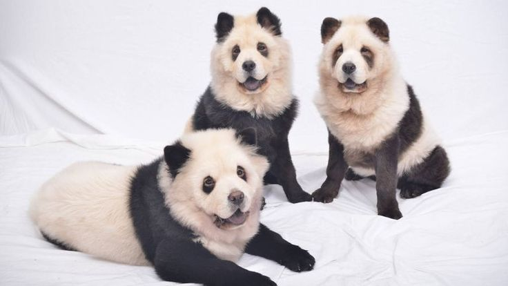 Panda Chow Chow Dyeing Chow Chows To Look Like Pandas Cute Or